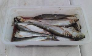 Kommersiell brisling selges i fiskeutstyrsbutikker mange steder.